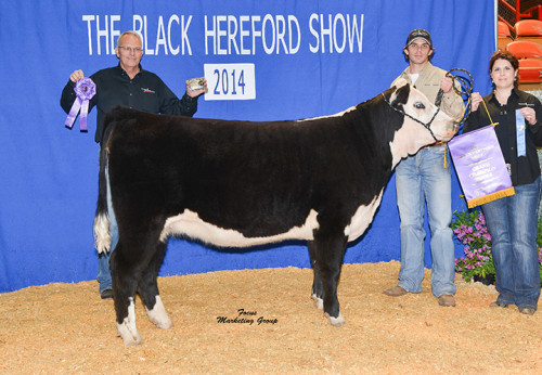 The Black Hereford Show - Grand Champion Female. Owned by Triple L Ranch.