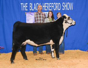 The Black Hereford Show - Grand Champion Bull: RRF Premier 3901