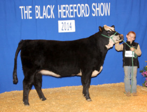 Grand Champion Futurity Heifer Triple L Z213