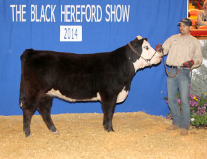 Reserve Champion Futurity Heifer Triple L Z214