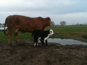 Black Hereford On Red Brahma Triple L Ranch