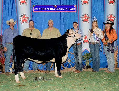 2012 Brazoria County Fair. Commercial Class Champion Heifer, shown by Dylan Harris.
