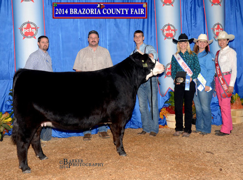 2014 Brazoria County Fair. Breed Champion Commercial Heifer, shown by Dylan Harris.