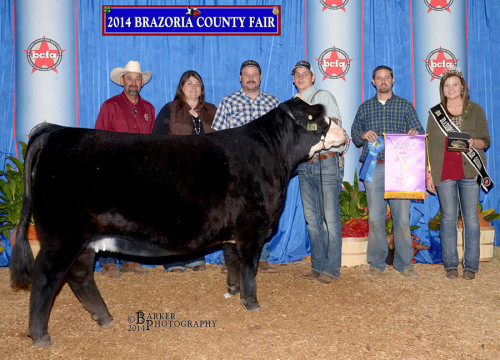 2014 Brazoria County Fair. British Grand Champion Heifer, shown by Dylan Harris.